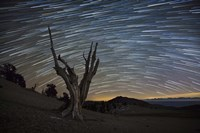 A dead bristlecone pine tree against a backdrop of star trails Fine-Art Print
