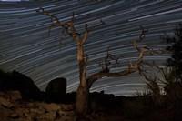 A dead Pinyon pine tree and star trails, Joshua Tree National Park, California Fine-Art Print