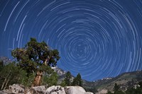 A pine tree on a windswept slope reaches skyward towards north facing star trails Fine-Art Print