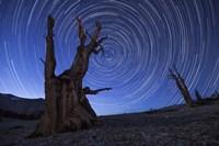 Star trails above an ancient bristlecone pine tree, California Fine-Art Print