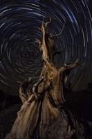 Star trails above a bristlecone pine tree, California Fine-Art Print