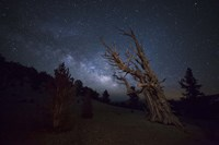 A large bristlecone pine in the Patriarch Grove bears witness to the rising Milky Way Fine-Art Print
