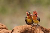Kenya, Samburu, Red-Yellow Barbet bird Fine-Art Print