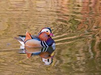 Mandarin Duck, Beijing, China Fine-Art Print