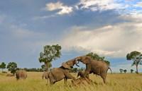 Kenya, Maasai Mara National Park, Young elephants Fine-Art Print