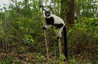 Lemur, Madagascar Fine-Art Print
