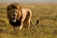 Lion, Ngorongoro Crater, Serengeti National Park, Tanzania Fine-Art Print