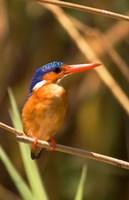 Malawi, Liwonde NP, Malachite kingfisher bird on branch Fine-Art Print
