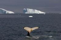 Humpback whale, Western Antarctic Peninsula Fine-Art Print