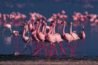 Lesser Flamingo, Kenya Fine-Art Print