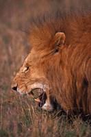 Male Lion, Masai Mara, Kenya Fine-Art Print