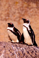 Jackass Penguins, Simons Town, South Africa Fine-Art Print