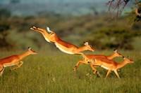 Impala, Aepyceros melampus, Mara River, Kenya Fine-Art Print