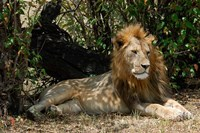 Kenya, Masai Mara Game Reserve, lion in bushes Fine-Art Print