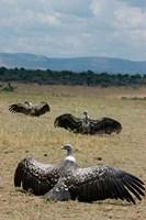 Kenya: Masai Mara Reserve, Ruppell's Griffon vultures Fine-Art Print