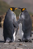 King penguins, mating ritual Fine-Art Print