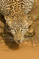 Leopard at waterhole in Masai Mara GR, Kenya Fine-Art Print