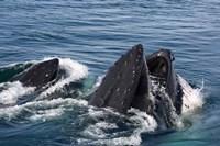 Humpback whales feeding, western Antarctic Peninsula Fine-Art Print