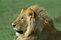 Kenya, Masai Mara Game Reserve, Lion Fine-Art Print