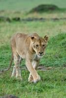 Kenya: Masai Mara Game Reserve, Mara Conservancy, Lion Fine-Art Print
