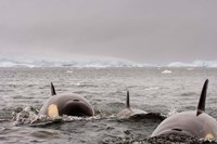 Killer whales pod, western Antarctic Peninsula Fine-Art Print
