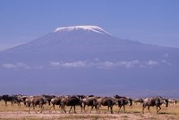 Kenya: Amboseli NP, wildebeest wildlife, Mt Kilimanjaro Fine-Art Print