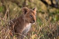 Lion cub, Masai Mara National Reserve, Kenya Fine-Art Print