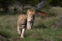 Lion, Kariega Game Reserve, South Africa Fine-Art Print