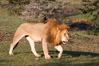 Lion, Panthera leo, Maasai Mara, Kenya. Fine-Art Print