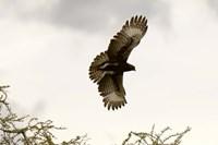 Long Crested Eagle, Meru National Park, Kenya Fine-Art Print
