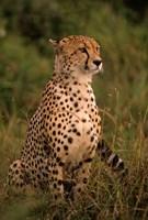 Kenya: Masai Mara, head of mating cheetah Fine-Art Print