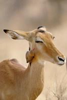 Impala, Red-billed Oxpecker, Samburu Game Reserve, Kenya Fine-Art Print