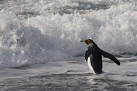 King Penguin in the surf, Antarctica Fine-Art Print
