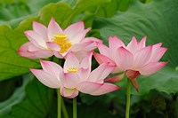 Lotus flower, Nelumbo nucifera, China Fine-Art Print