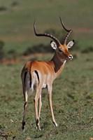 Male Impala, Antelope, Maasai Mara, Kenya Fine-Art Print