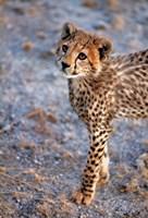 Kenya, Cheetah in Amboseli National Park Fine-Art Print