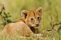 Lion cub in the bush, Maasai Mara Wildlife Reserve, Kenya Fine-Art Print