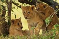 Lion cubs in the bush, Maasai Mara Wildlife Reserve, Kenya Fine-Art Print