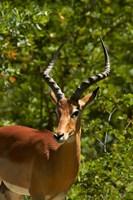 Male Impala, Hwange National Park, Zimbabwe, Africa Fine-Art Print