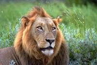 Male Lion, Kruger National Park, South Africa Fine-Art Print