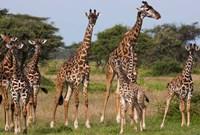 Maasai giraffe, Serengeti NP, Tanzania. Fine-Art Print