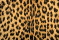 Leopard, Masai Mara Reserve, Kenya Fine-Art Print