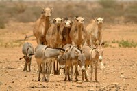 Mauritania, Adrar, Camels and donkeys going to the well Fine-Art Print