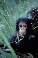 Infant Chimpanzee, Tanzania Fine-Art Print