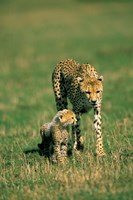 Kenya, Masai Mara Game Reserve, Cheetah with cub Fine-Art Print