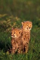 Cheetah cubs, Kenya Fine-Art Print
