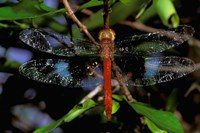 Madagascar, Ankarana Reserve, Malagasy Dragonfly insect Fine-Art Print