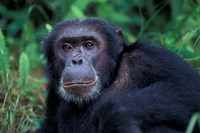 Male Chimpanzee Relaxing, Gombe National Park, Tanzania Fine-Art Print