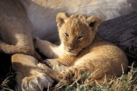 Kenya, Masai Mara. Six week old Lion cub (Panthera leo) Fine-Art Print