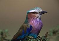 Kenya, Masai Mara, Lilac-breasted Roller bird Fine-Art Print